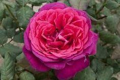 Bildergebnis für rose goethe