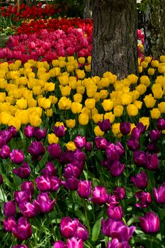 Bed of mixed tulips by Georgianna Lane