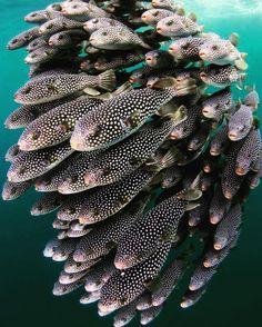 Fugu polka dots fish