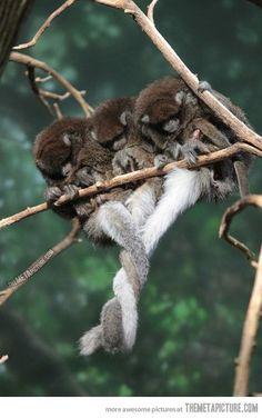 "(Pb) Visual ""Petting Zoo"" on Pinterest | @djohnisee ~ PIC: Monkeys ~ Family Portrait ~ tail HUGS!"