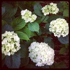 Hydrangeas - I wish I had enough water to grow them.