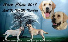 labrador retriever turkey    http://www.yavrulabrador.com/satilik-secereli-labrador-yavrulari.html  #labradorretrieverturkey