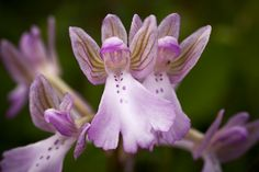 Orchid-Mimicry: Angel-Orchid - Orchis boryi. A rare species that is endemic to southern Greece.