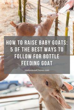 bottle-feeding-goat-pin