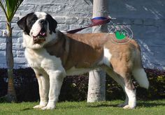 COMMON OPHTHALMIC DISEASES with Saint Bernard Dog | Dogue de Bordeaux or English Mastiff Dog and Puppies Few would argue that vision is the most important of the cognitive senses, and maintenance of a normal visual system is important for an optimal quality of like.  http://www.varietykennel.com/blog/COMMON%20OPHTHALMIC%20DISEASES.htm