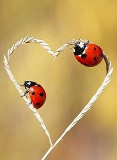ladybug love by mehmet karaca on Beautiful Bugs, Animals Beautiful, Beautiful Images, Cute Animals, Heart In Nature, Heart Art, Nature Pictures, Cute Pictures, Lady Bug Tattoo