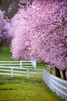 Love cherry blossom trees. We got married at a place known for cherry blossoms. So pretty