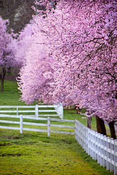Flowering Cherry trees in Oregon