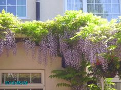 love our wisteria in bloom
