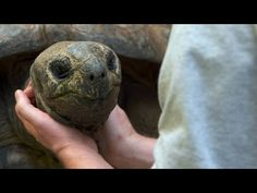 Do Tortoises Like Being Touched? - YouTube Read more, http://laughingsquid.com/reptile-biologist-explains-that-tortoises-are-affectionate-despite-their-tough-exterior/