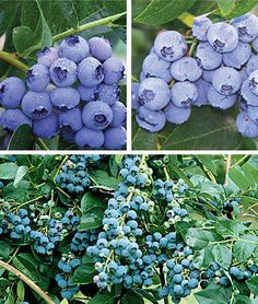 Blueberry, 90 days of Fruit Northern Collection Fruit Plants at Burpee.com