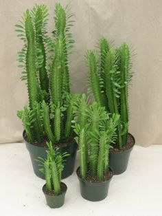Euphorbia trigona aka African milk tree or cathedral cactus - House Plants Indoor Cactus Garden, Cactus House Plants, Indoor Plants, Cactus Decor, Cactus Art, Cactus Euphorbia, Succulent Terrarium, Cacti And Succulents, Perennials