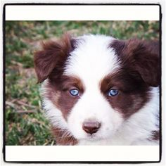 My pup Zūla. She is a red and white border collie mixed with Merle(: