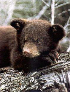 Close Up Of Black Bear Cub Resting