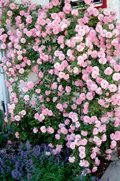 John Davis climbing rose: Z3; quartered old-rose form, double, repeat bloom, medium pink, bloom measures 8 cm with 40 petals, spicy scent, opening flat, flowers singly and in large clusters; small, round, red buds; medium green, semi-glossy leaves; Comments: Disease-resistant; arching growth, good for pergolas, fences and arbours ... (from top 10 climbing roses @ Canadian Gardening)