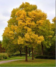 Golden Ash (Fraxinus excelsior)