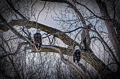 #shotoftheday a pair of #baldeagles in a #deadtree over the #redriverofthenorth near #halstad #minnesota this morning.  #amazing #birdphotography #sony #a6300 #manfrotto #lowepro #ndlegendary #exploreminnesota #freedombird #nationalsymbol #onwatch processed in #lightroomcc and #on1photoraw. Follow me at http://ift.tt/29Gb81w