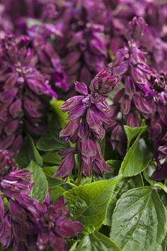 Ablazin'® Purple - Salvia splendens