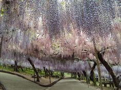 kawachi wisteria - Buscar con Google