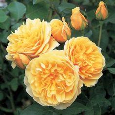 Graham Thomas  Probablement la plus connue des Roses Anglaises, cette variété plus que toute autre est responsable pour la popularité du groupe. Les fleurs...