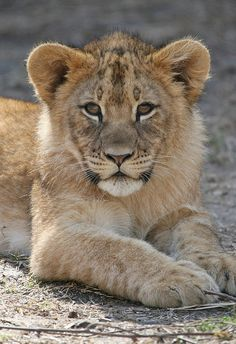 Baby lion So cute Lion King Animals, Pet Lion, Lion Cub, Majestic Animals, Animals Beautiful, Wild Animals Photos, Cute Wild Animals, Happy Animals, Lion Pictures
