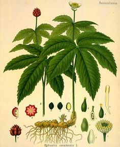 Goldenseal (Hydrastis Canadensis) - natural homeopathic remedy for cold! I took this for days when I had a head cold/congestion and it helped to clear it right up! I will never take cold medicine again! Healing Herbs, Medicinal Plants, Natural Healing, Natural Herbs, Plant Illustration, Botanical Illustration, Botanical Prints, La Malmaison, Herbal Medicine