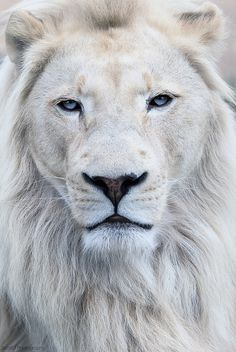 funnywildlife:  SCO1622 by ScottD Photography on Flickr. White lion at Wildlife Heritage Foundation UK