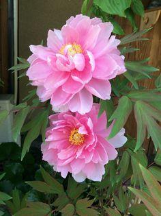 Peony flower in Kyoto, Japan