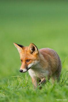 Renard roux (fox, fuchs) en balade.  www.observelalumiere.com