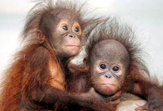 Borneo Orangutang Sanctuary