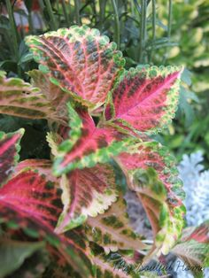 My Soulful Home blog post Coleus ~ the ultimate growing guide http://shrx.us/kazpLyqd via bHome http://bit.ly/1zYKtQj