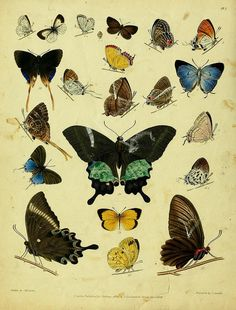 Descriptive catalogue of the lepidopterous insects contained in the Museum of the Honourable East-India Company — London Parbury, Allen,1828-1829.
