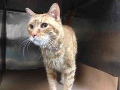 """CUBE - A1034821 - - Brooklyn  ***TO BE DESTROYED 05/17/15***BEGINNER CREAMSICLE NEEDS NEW FRIEND! Cube is a gorgeous gingerbread man whose affectionate disposition matches his good looks. This great guy came in with his feline friend, MORPHEUS – A1034822 (also listed tonight) on 4/30 as """"stray"""" surrenders but both boys were clearly once loved and well taken care of. Cube is neutered and except for a couple of curable kitty sniffles purrfectly healthy and ready to be y"""