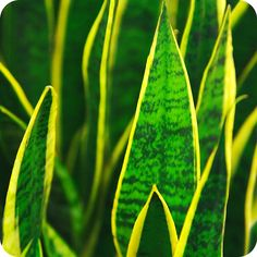 Purify the air with the snake plant.