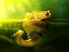 Cette grenouille, qui s'attendait à voir son reflet dans l'eau, s'est retrouvée nez à nez avec un escargot.