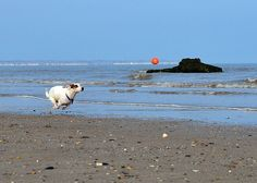 jack russell terrier in the beach