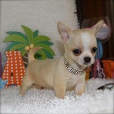 Effective Potty Training Chihuahua Consistency Is Key Ideas. Brilliant Potty Training Chihuahua Consistency Is Key Ideas. Teacup Chihuahua Puppies, Chihuahua Love, Teacup Yorkie, Cute Puppies, Cute Dogs, Dogs And Puppies, Doggies, Little Dogs, Beautiful Dogs