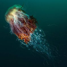 """geographicwild: """" . The overall winning picture is of a lion's mane jellyfish. Phot by @georgestoyle . #BritishWildlife #British #Uk #Jellyfish #Winning """""""