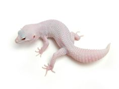 Mack Super Snow Tremper Albino Patternless | The Urban Gecko