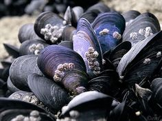 blues and blacks, mussel shells with  barnacles on the sandy beach (sea)