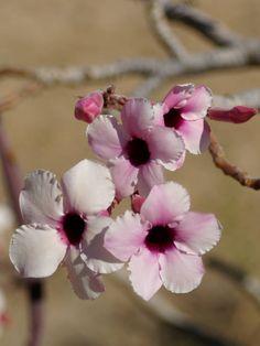 Adenium boehmianum - Flowers