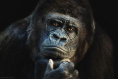 Wildlife Photography or Animal Photography : The name of the game in wildlife photography or Animal Photography whether you're trying to capture a herd of elephants on the Serengeti Plains or Gorilla Gorilla, Silverback Gorilla, Gorilla Funny, Primates, Wildlife Photography, Animal Photography, Amazing Photography, Beautiful Creatures, Animals Beautiful