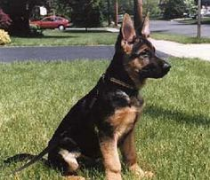 #German #Shepherd #puppy - ready to go!