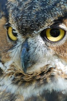 """Great Horned Owl ~ by """"Jason Telasco"""""""