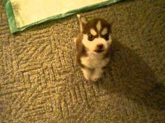 Remmington the Tiny Husky Puppy Shows Off His Adorable Bark. Awwwwww I want him!
