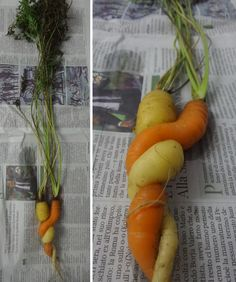 Brivio: 'l'abbraccio' tra due carote, nell'orto di un lettore