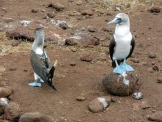 If you love animals and wildlife, then the traveling to the Galápagos Islands in Ecuador are simply a must visit destination for you to vacation to. Ecuador, Booby Bird, Computer Teacher, Blue Footed Booby, Teaching Technology, Teaching Science, Virtual Field Trips, Galapagos Islands, Darwin