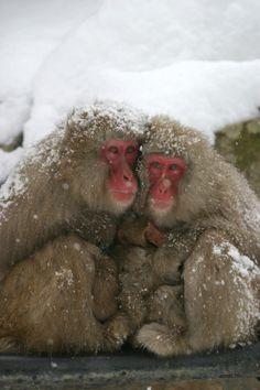 The Snow Monkeys of Jigokudani   Monkeys bathing in an onsen in Yamanouchi, Nagano   Features   SnowJapan