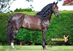 Diagonal Paso (Trocha Pura) stallion Conde del Viento