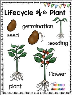 planting Kindergarten anchor chart - LIFE CYCLE OF PLANTS Kindergarten and preschool crafts - activities - flip book - printables and Preschool Craft Activities, Kindergarten Science, Kindergarten Worksheets, Vocabulary Activities, Free Activities, Parts Of A Flower, Parts Of A Plant, Seed Germination For Kids, Planting For Kids